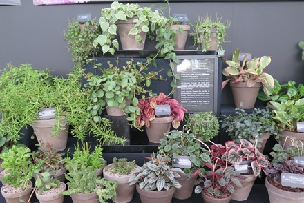 Plant Heritage highlights Peperomia at RHS Chatsworth Flower Show 5-9 June