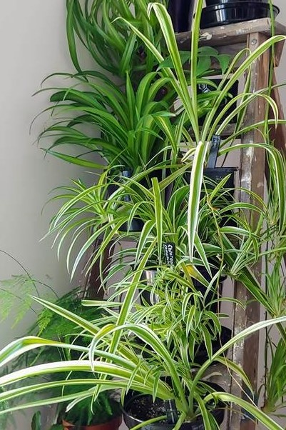 Five New Plant Heritage National Plant Collections Spider Plants Chlorophytum Comosum Cvs Medlar Mespilus Germanica Buxus Metasequoia And Liriodendron