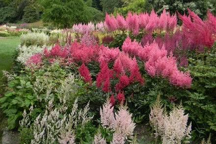 The Brickell Award 2020.  We are delighted to annouce that Malcolm Pharoah has been awarded the prestigious Brickell Award 2020 for his National Plant Collection of Astilbe